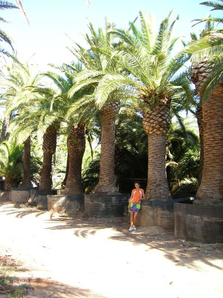 phoenix canariensis palm trees canary island date palm. Black Bedroom Furniture Sets. Home Design Ideas