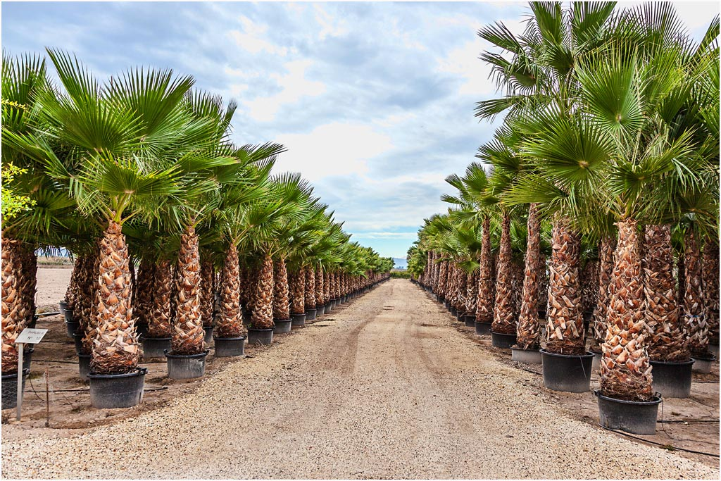 Washingtonia Robusta Palm Trees Mexican Fan Palm From
