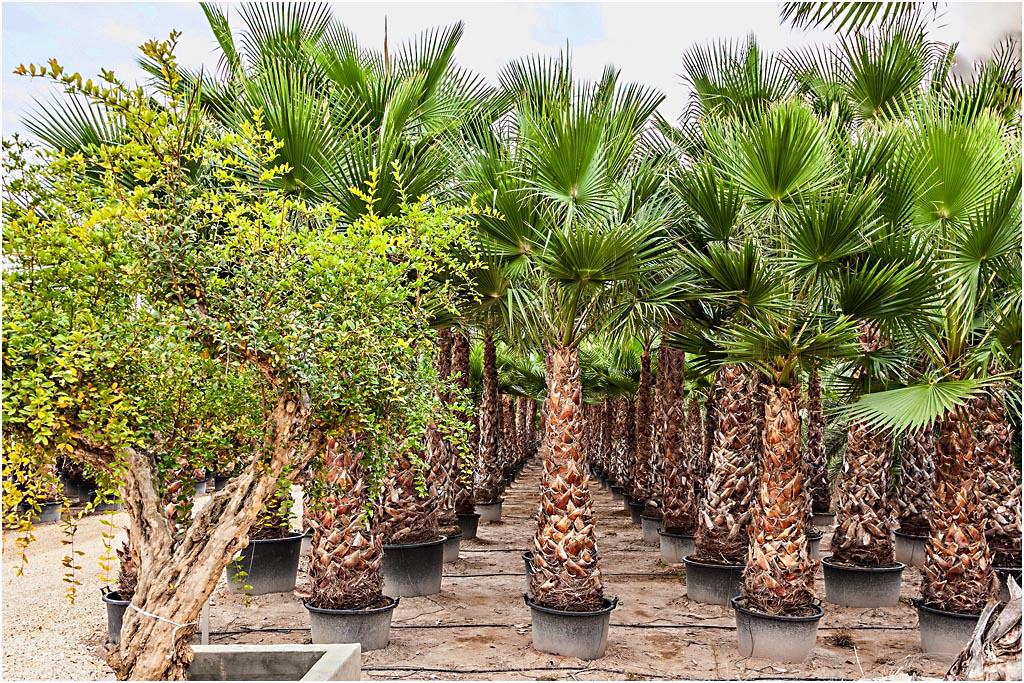 washingtonia robusta palm trees mexican fan palm from. Black Bedroom Furniture Sets. Home Design Ideas