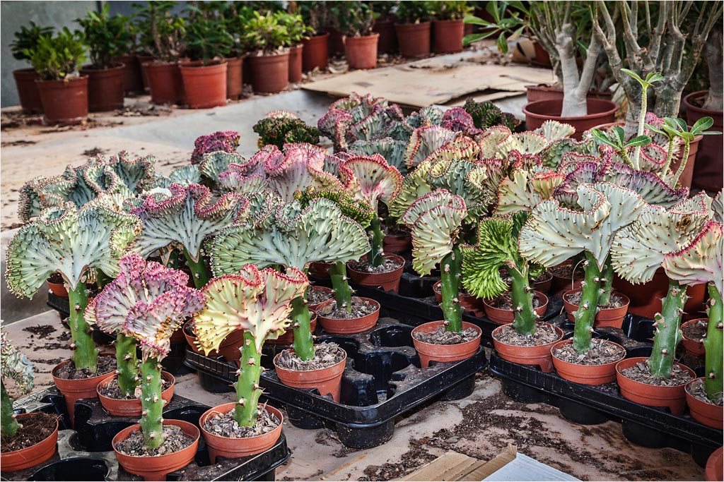 euphorbia lactea cristata from palm farm. Black Bedroom Furniture Sets. Home Design Ideas