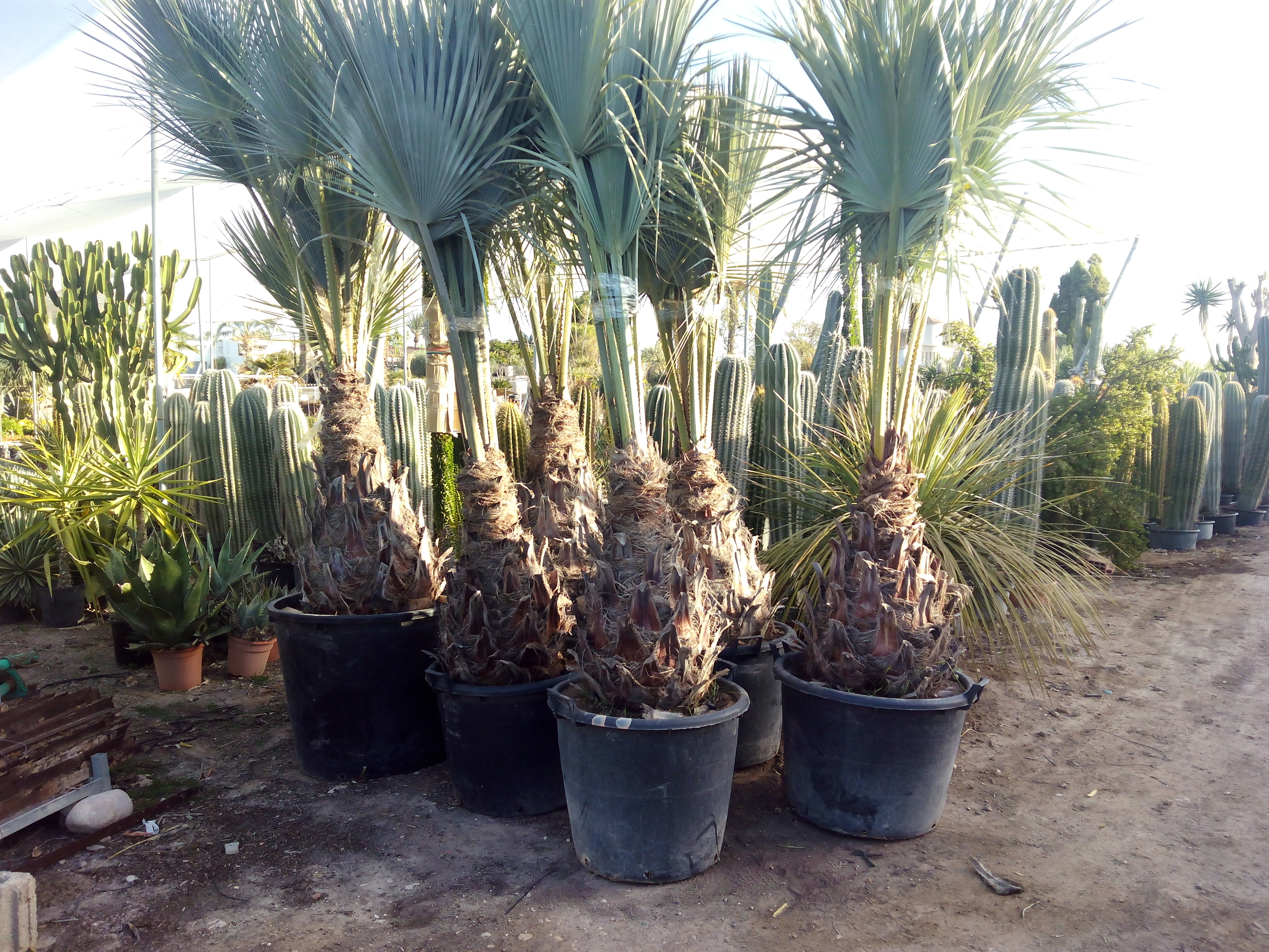 Brahea Armata Palm Trees - Mexican Blue Palm Trees/Blue ...
