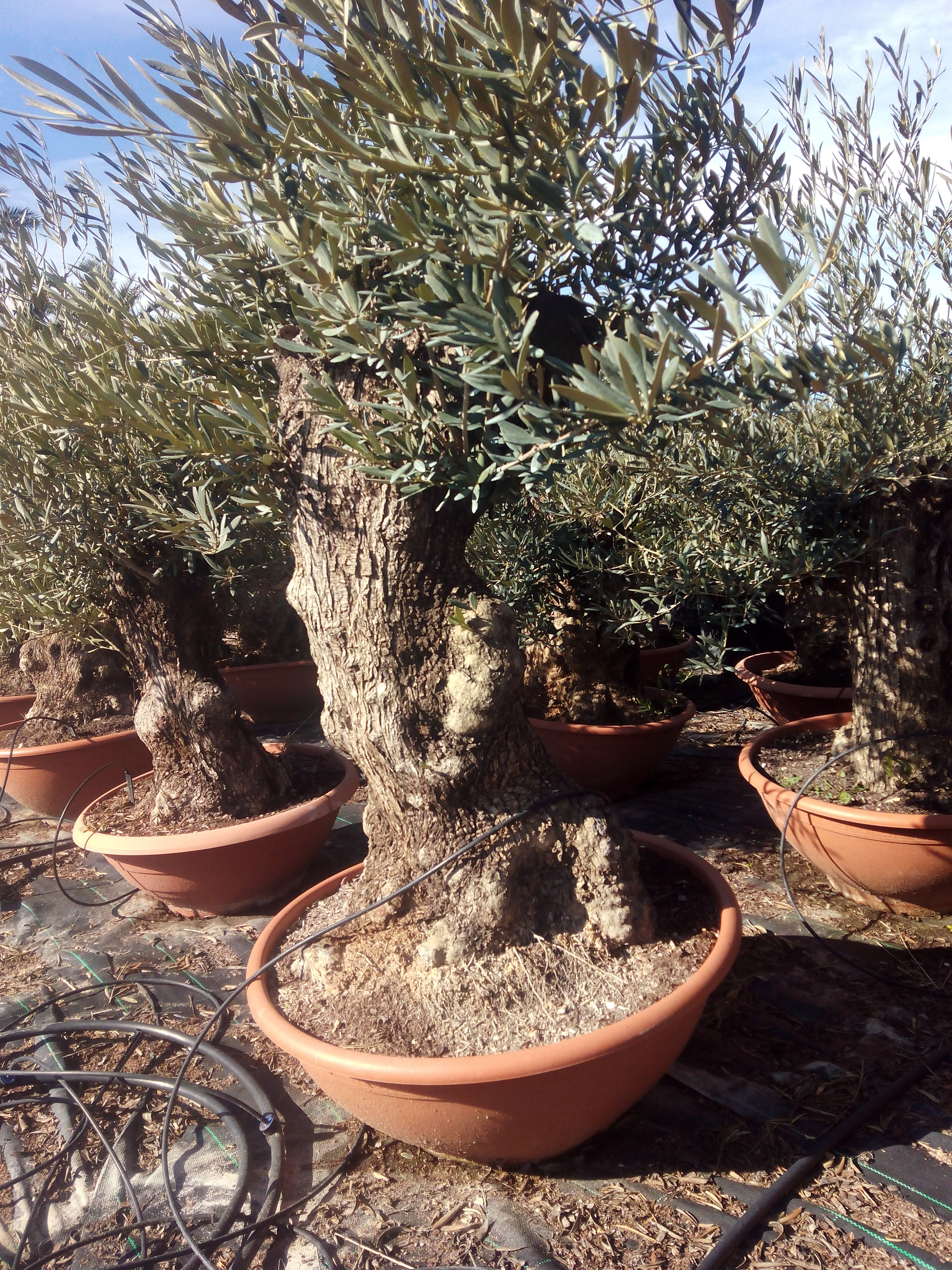 Olive trees bonsai in terracotta container from palm farm for How to make an olive tree into a bonsai