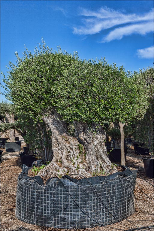 Olive trees mature trunks pom pom from palm farm for Olive trees for sale