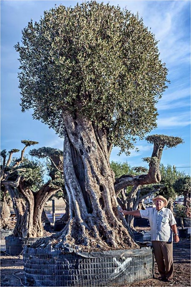 Olive Trees Prime Examples