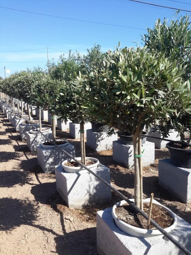 Olive Trees Young