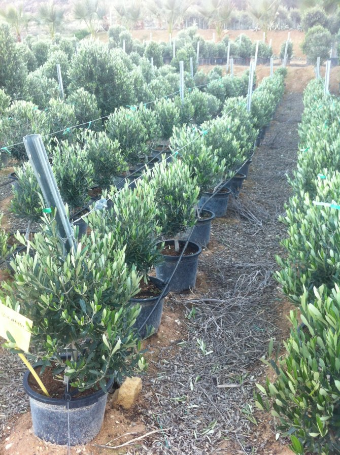 Olive Trees Shrub
