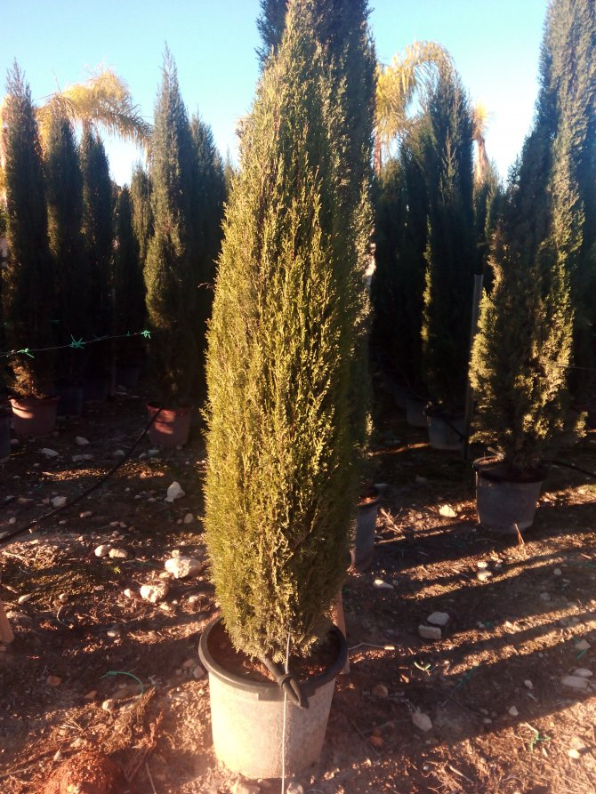 Italian Cypress Stricta (Fastigata) (Pencil Cypress)