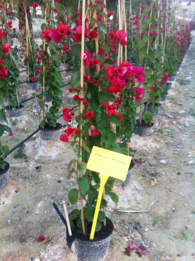 Bougainvillea Red Diamond