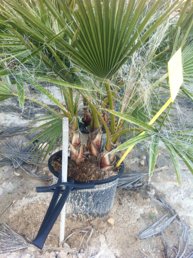 Washingtonia Robusta Baby Palm Trees - MULTI TRUNK