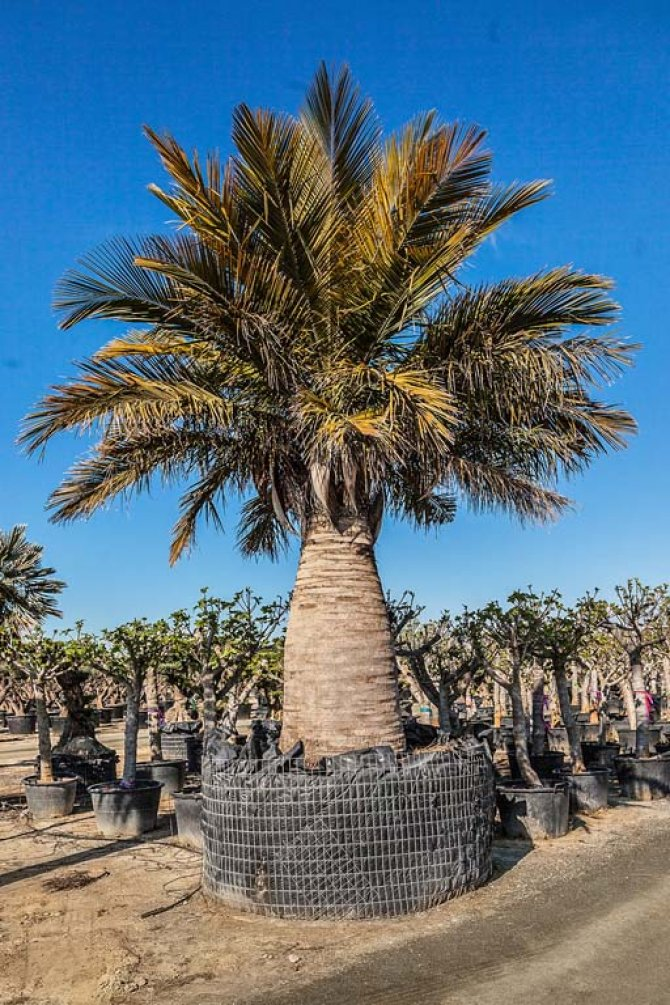 Jubaea Chilensis Palm Trees - Chilean Wine Palm