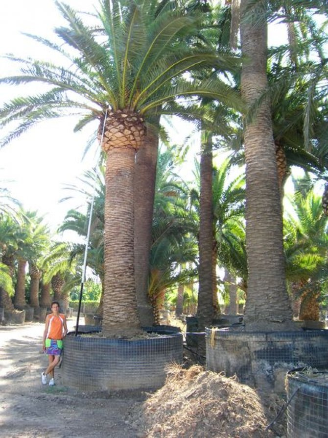 Phoenix Canariensis Palm Trees - Canary Island Date Palm