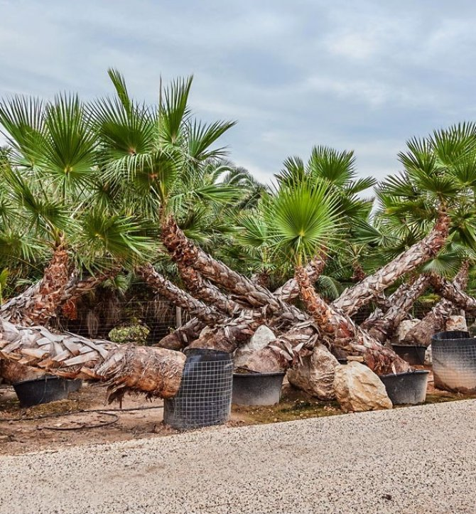 Washingtonia Robusta Palm Trees - Mexican Fan Palm - Referred to as Caribbeans