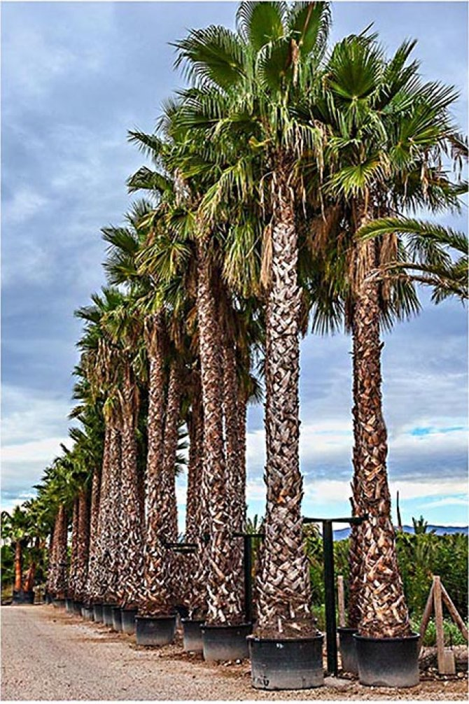 Washingtonia Robusta Palm Trees - Mexican Fan Palm