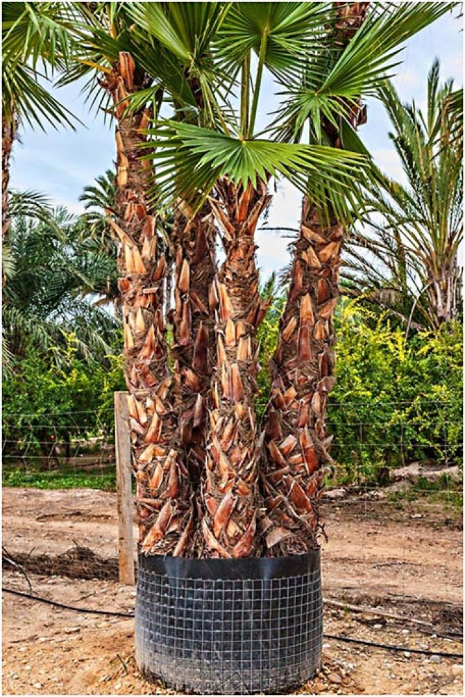 Washingtonia Robusta Palm Trees - Mexican Fan Palm - MULTI TRUNK