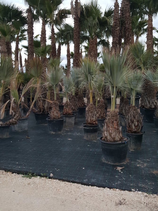 Brahea Armata Palm Trees - Mexican Blue Palm Trees/Blue Hesper Palm Trees