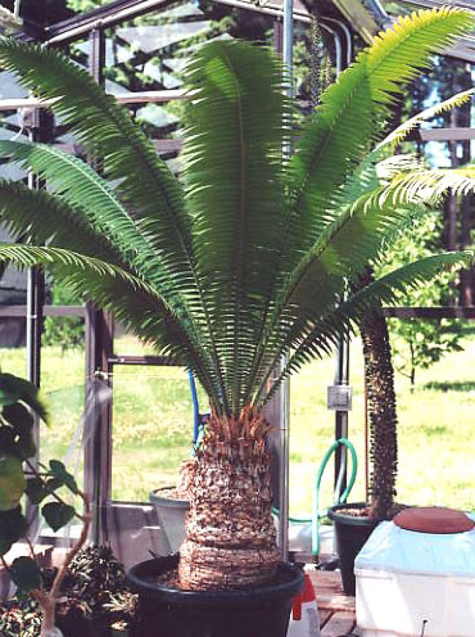 Dioon Spinulosum Yuccas (Giant Dioon/Gum Palm)