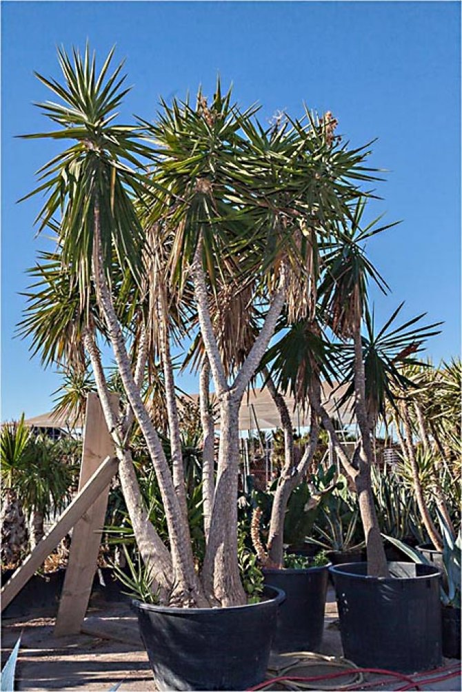 Yucca Elephantipes Yuccas (Spineless Yucca, Soft-Tip Yucca, Blue-Stem Yucca, Giant Yucca)