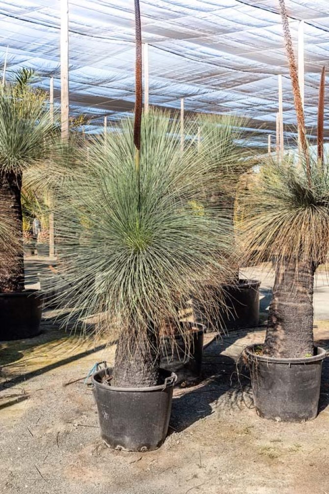 Xanthorrhoea Glauca Yuccas (Grass Trees)