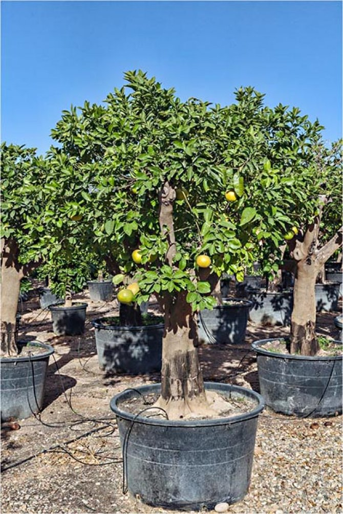 Grapefruit Trees