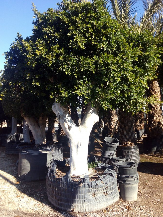 Ficus Nitida Trees (The Indian Laurel)