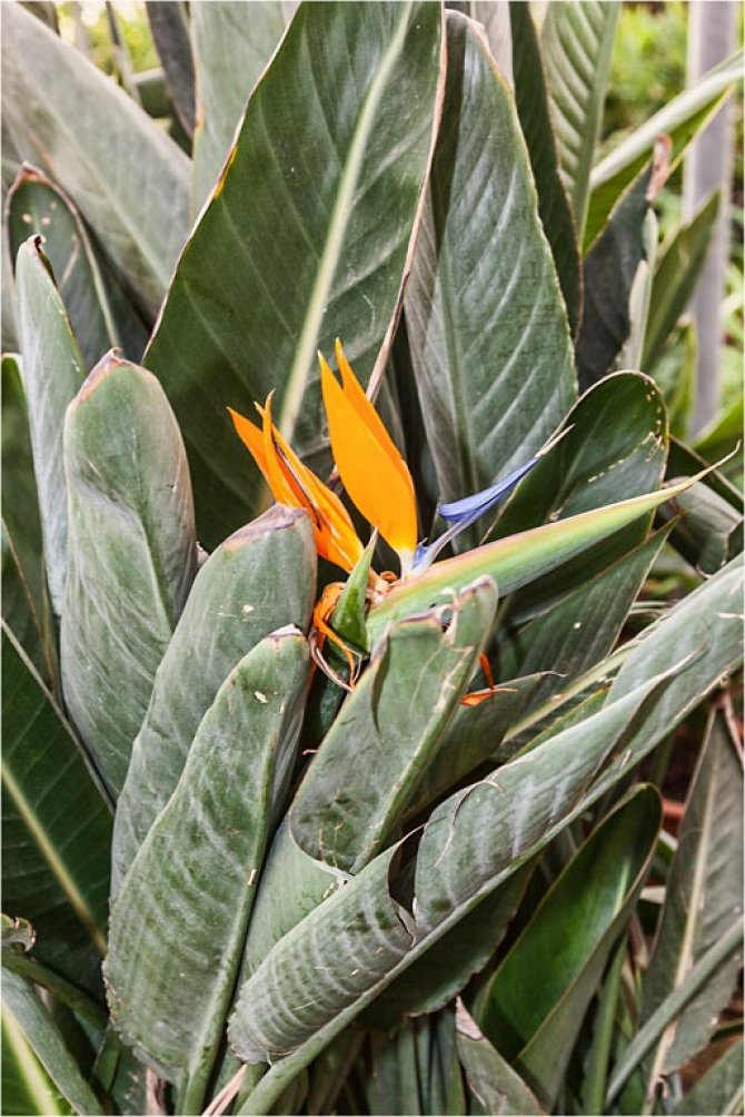 Strelitzia (Bird of Paradise Flower)