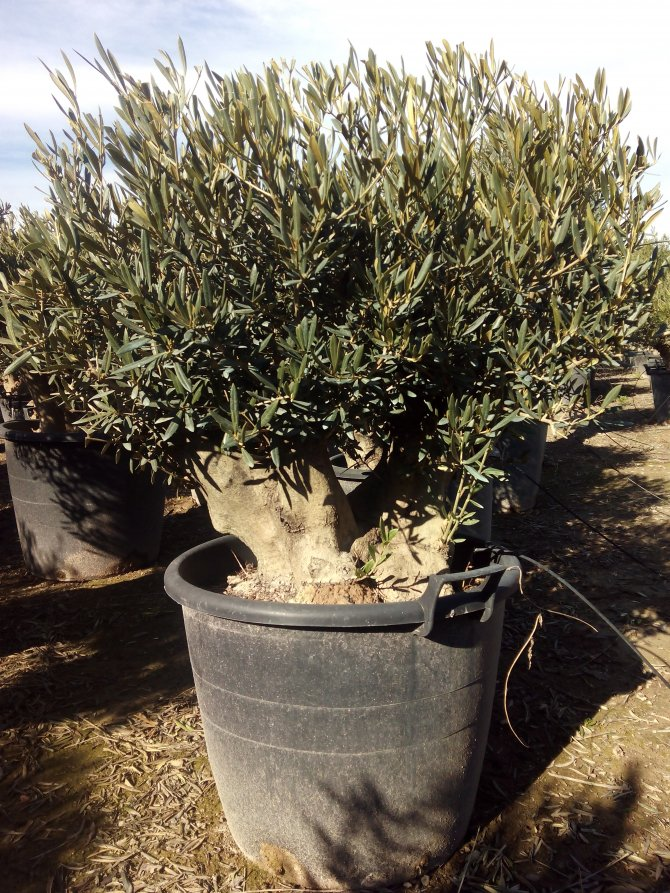 Palmfarm Catalogue Olive Trees For Sale In Spain In