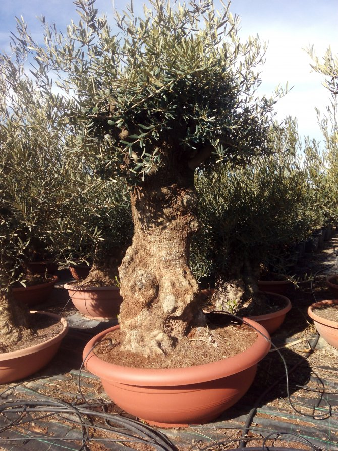 Olive Trees Bonsai in Terracotta Container